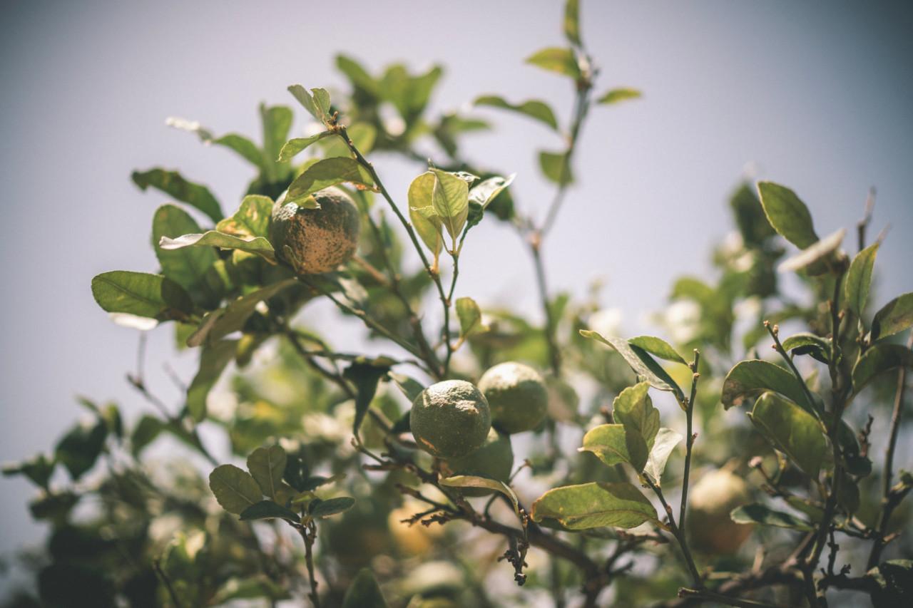 Albero di Limoni Verdi. Fotografia di Tommaso D'Angelo